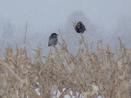 crow-snow_600