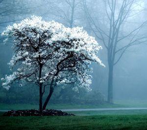 white-magnolia-tree-wallpaper@wallpaperpassion