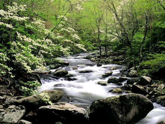 _ Middle Prong River and Dogwoods Great Smoky Mountains Tennessee ___