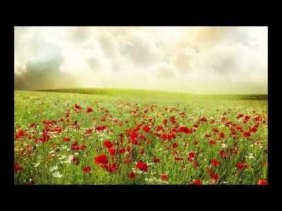field of lilies